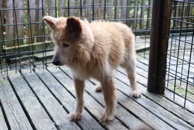 ウッドデッキと柵に囲まれた老犬