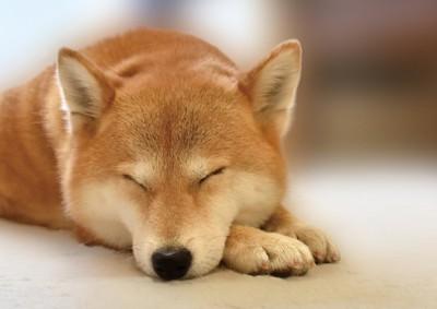 手に顎をのせて寝る柴犬