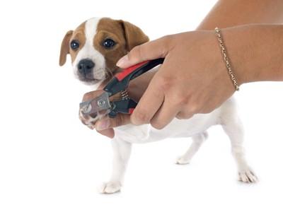 爪を切られている子犬