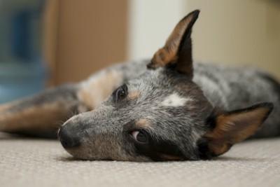 薄目を開けて床に寝転ぶ犬
