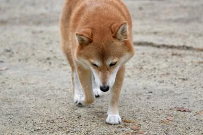 片足を上げている柴犬