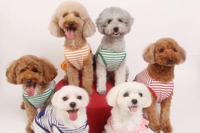 お座りしている六頭の小型犬