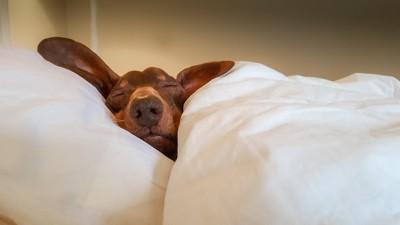 ベッドで布団をかけて眠る犬