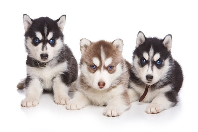 シベリアンハスキーの子犬3頭