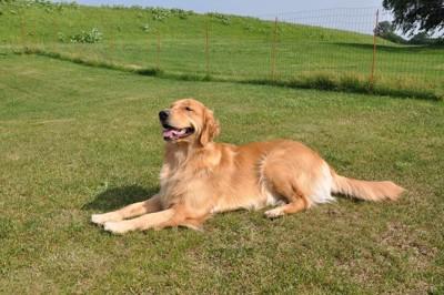 芝生の上で伏せるご満悦なゴールデン