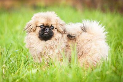 草むらでたたずむペキニーズの幼犬