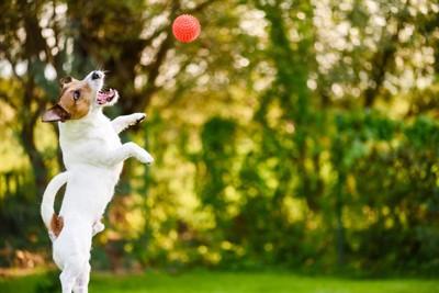 ジャンプする犬と赤いボール