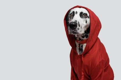 赤い服、フードを被る、ダルメシアン