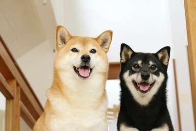 並んで座る2匹の柴犬