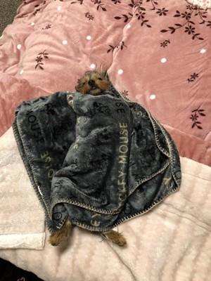 毛布をかけてもらって寝ている子犬