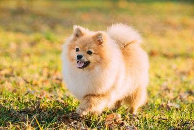 芝生の上を歩くポメラニアンの子犬