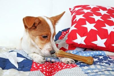 ソファの上で骨型のオヤツを見つめる犬