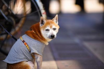 座り込むシニア犬