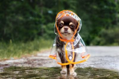 レインコートを着る犬