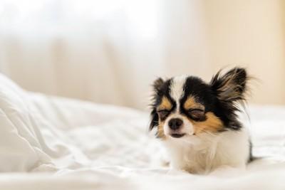 ベッドの上で目を閉じているチワワ