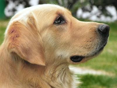 災害救助犬のゴールデンレトリバー