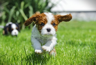 走るキャバリアの子犬