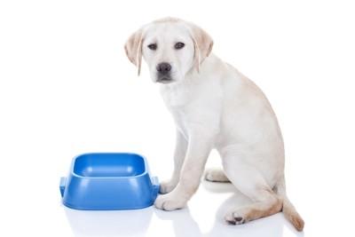 青いボウルとラブラドールの子犬