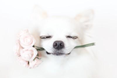 花を咥えて目を閉じたチワワ