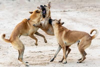 ケンカする2匹の犬と止める犬