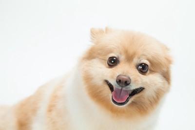 笑顔で耳を後ろに倒している犬