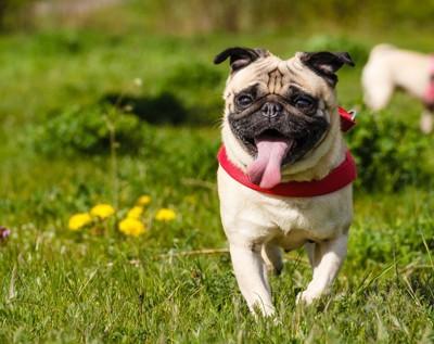 芝生の上で歩いているパグ