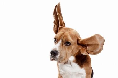 大きな耳の犬