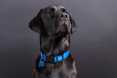 迷子札付きのネックレスを付けた犬