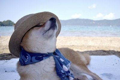 柴犬に麦わら帽子