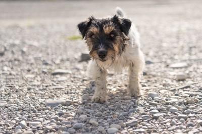 砂利道の上を歩く犬