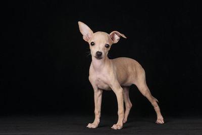 立ってこちらを見ているイタリアングレーハウンドの幼犬