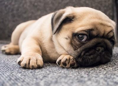 寝そべるパグの子犬