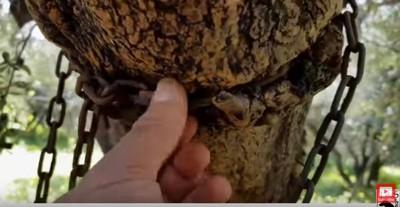 木の幹に食い込む鎖