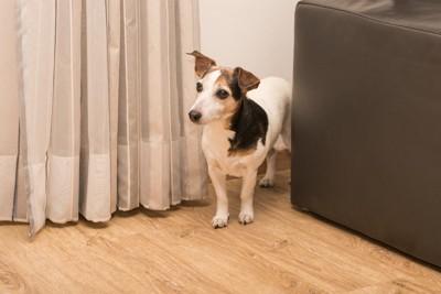 カーテン横に立つ犬