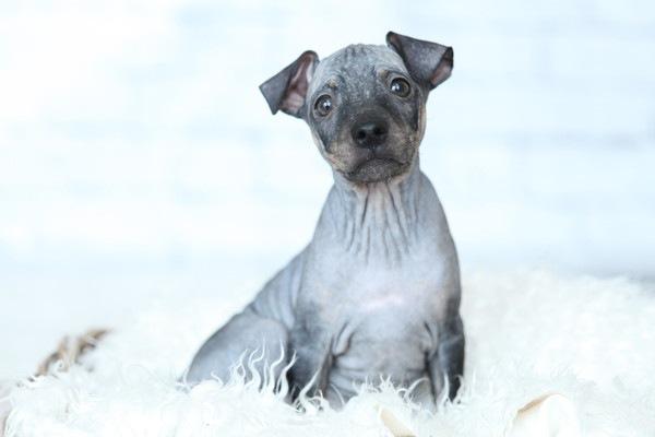 アメリカンヘアレステリア子犬