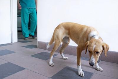 病院で尻尾を垂らして怯える垂れ耳の犬