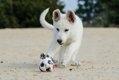 ボールで遊ぶ白い犬