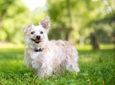 原っぱに立って笑顔を見せる犬