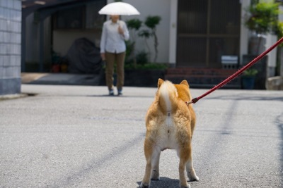 散歩中の柴犬の後ろ姿