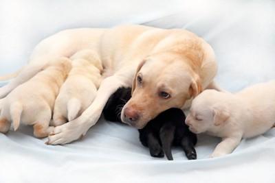 ラブラドールの子犬と母犬