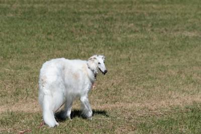 芝生の上を歩くボルゾイ