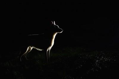 暗闇の中に立つ犬の影
