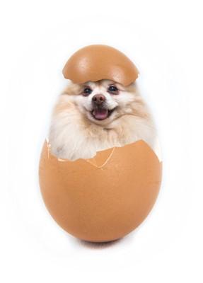 卵の殻に入ったポメラニアン