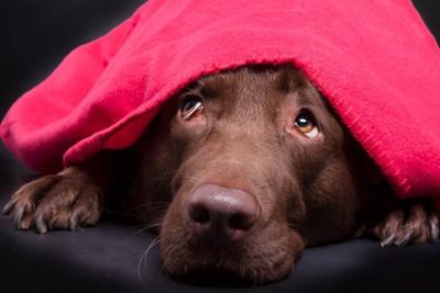 赤い布をかぶり見上げる犬