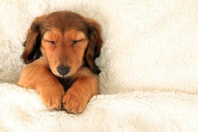 手を揃えて眠るダックスの子犬