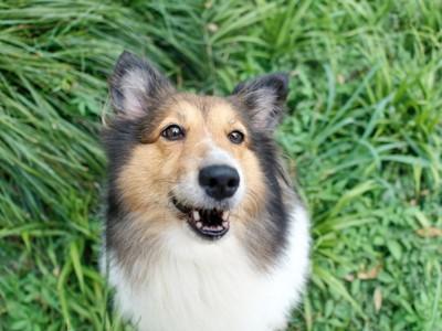 口が半開きな犬