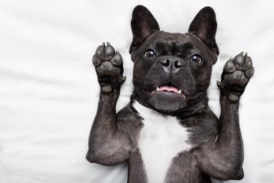 仰向けで両手を上げる犬