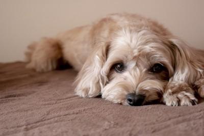 伏せてこちらをじっと見つめている犬