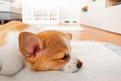 トイレシーツの上で眠る子犬のアップ
