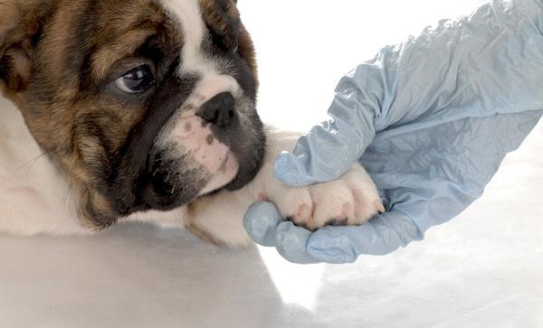 獣医に指をケアされている犬